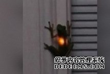 神奇!青蛙吞下萤火虫后胃部闪闪发光网上一段视频显示,在美国田纳西州的纳什维尔市,一只青蛙在吞食了萤火虫后胃部闪闪发光,令人倍感新奇。视频中,一只青蛙趴在白色的墙壁上,身体不时发出暖黄色的光。【详细】社会政法|社会热图